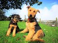 Airedale Terriers - The Dogs With The Waggiest Tails