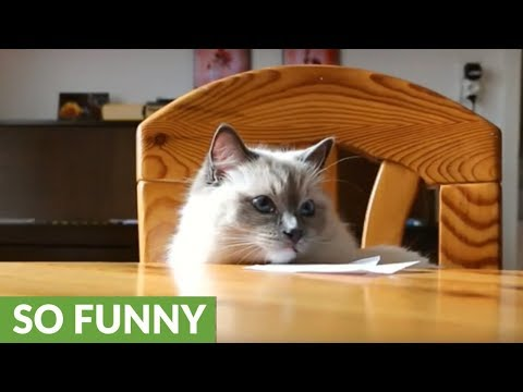 Rude cat repeatedly knocks pens off table