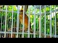Kicau Manyar Kembang Mbeset  Untuk Pancingan Atau Masteran Burung  Mp3 - Mp4 Download