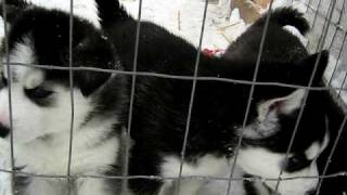 Siberian Husky Puppies Want To Play Outside Kennel
