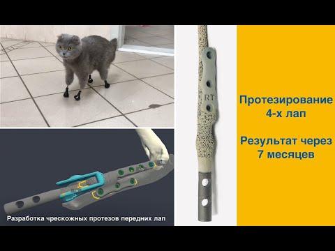 Протезирование 4-х лап у кошки после отморожения (результат через 7 месяцев)
