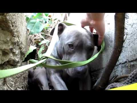 The Very Touching Rescue of a Pit Bull Living in a Ditch