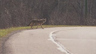 Bloomington Dog Owners On Alert After Coyote Sightings
