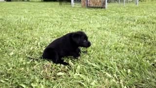 Lab Puppies Available! Michigan Elite Labradors