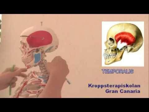 Mazeter, temporalis, hyoideus, pterygoideus och buccinator - YouTube