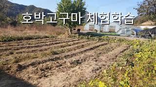 호박고구마를 직접 수확해보며 자연과 더불어  수확의 즐…