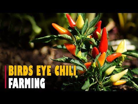 Bird's Eye Chili Farming / Thai Chilli Pepper Farming
