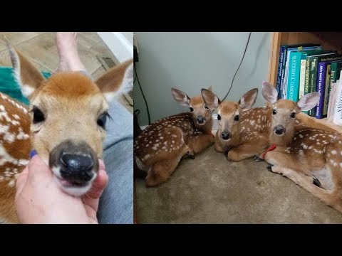 Thumbnail: Woman doesn't close backdoor as storm nears, is stunned when she finds 3 baby deer inside