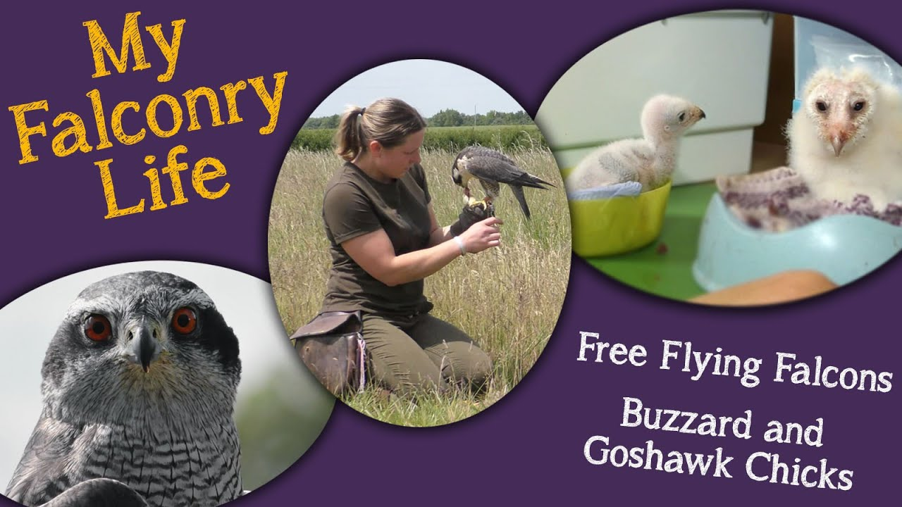 My Falconry Life |  Buzzard and Goshawk Update | Free Flying Falcons and much more!
