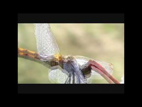 Male dragonfly grips female by head and wings