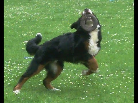 Bernese Mountain Dog Murphy strutting his stuff.