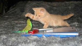 Кошки и Попугаи! Смешная  Видео Подборка! Funny Cats And Parrots /(Кошки и Попугаи! Смешная Видео Подборка! Funny Cats And Parrots / https://youtu.be/dEjfM9E8zPc ..., 2015-12-26T10:36:04.000Z)