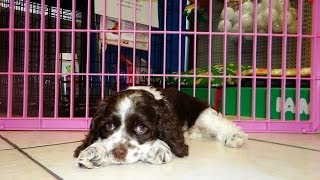 Cocker Spaniel, Puppies, For, Sale, In, Charlotte, North Carolina, Nc, Lexington, Clemmons, Fuquay V