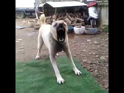 Kangal kışkırtma! Evde denemeyin zincirini kopartıyor!