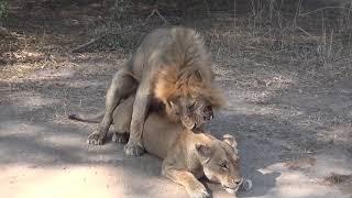 animal mating 動物交配 скрещивание животных ζευγαρώματα ζώων 3
