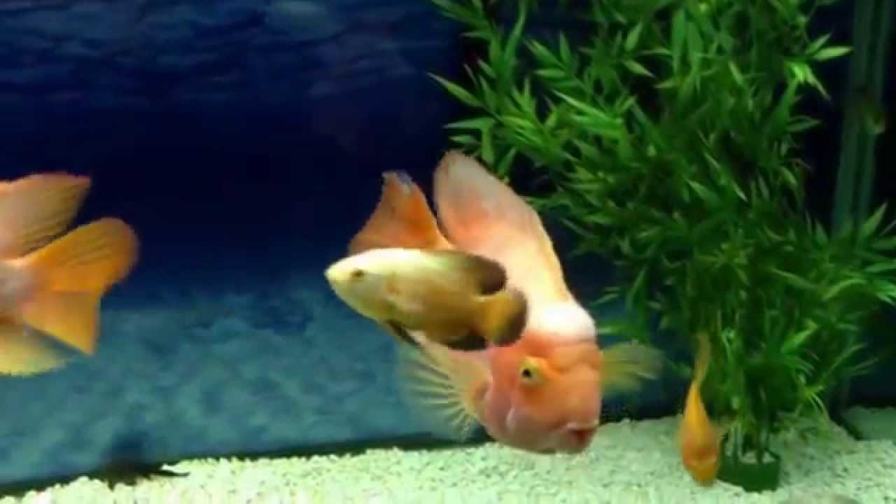 BIG blood parrot cichlids - YouTube