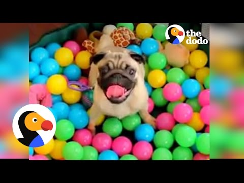 Dogs Playing In Ball Pits! | The Dodo