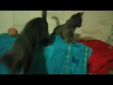 kittens breed Russian blue cat