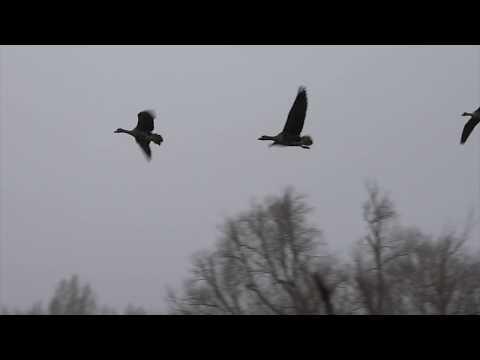Дикие гуси из Сибири