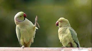 Горошек. ПОПУГАЙ ЗДОРОВАЕТСЯ. Чем кормить попугая, помимо корма. Зелёный горох в стручках