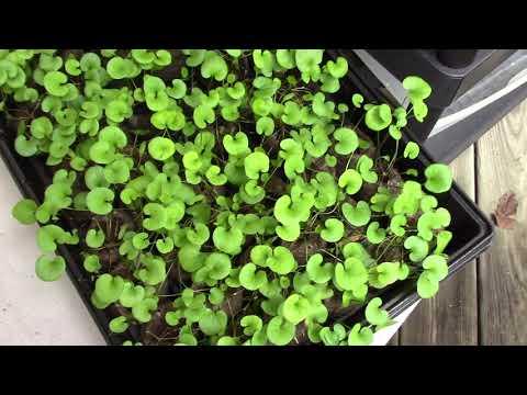 Pilea Peperomioides Seeds EBAY Scam!