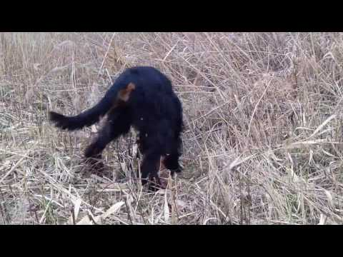 Gordon setter Kofi points pheasant