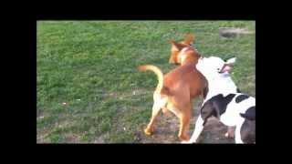 Bordeaux Dog Vs Amerikaanse Bulldog / Reno Kay American Bull Vs Dogue De Bordeaux