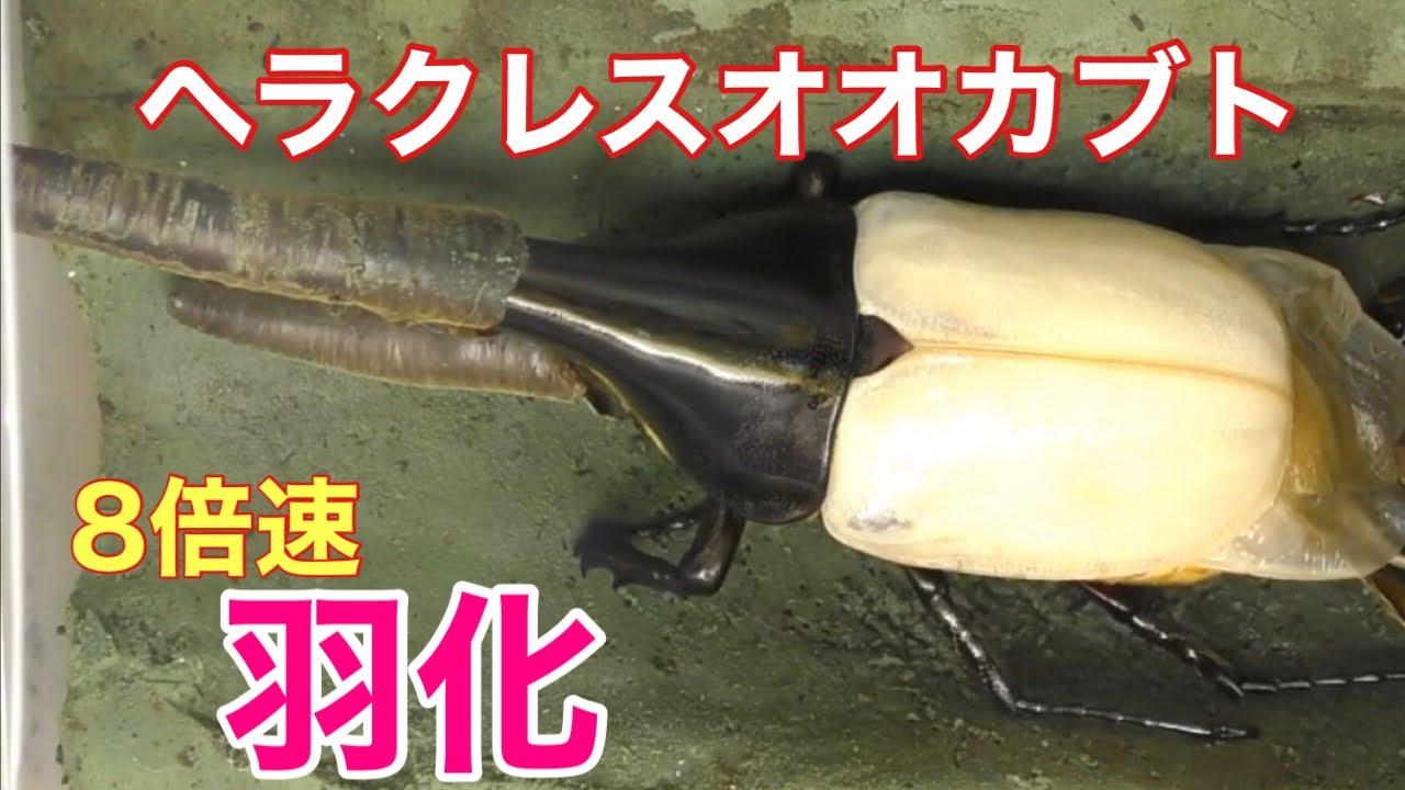 【8倍速】ヘラクレスオオカブト(ヘラクレス・ヘラクレス)♂ 羽化【157mm】 Moment of eclosion(Hercules Beetle)