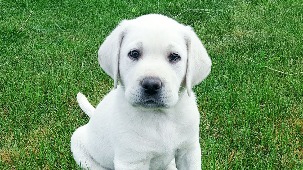Gorgeous White English Lab Puppy In Training Week 1 Youtube