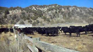 Cattle Drive And Round-up In Colorado