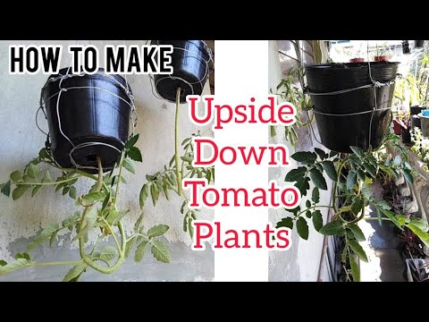How To Make HANGING UPSIDE DOWN TOMATO PLANTS