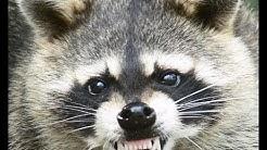 Raccoon Removal Dayton Oh