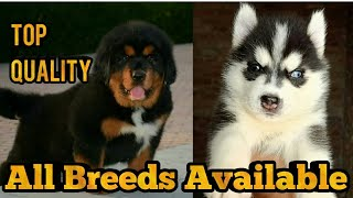 Top Quality Pups Available || Tibetian Mastiff Pups Available || Siberian Husky Pups Available