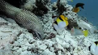 Honeycomb Moray free swimming and hunting