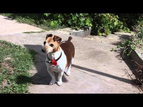 "Jack Russell Terrier ""Oscar on patrol"""