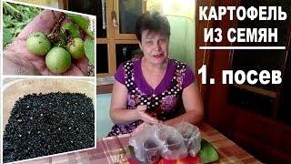 Выращивание картофеля из семян . Часть 1 -  когда и как сеять семена картофеля