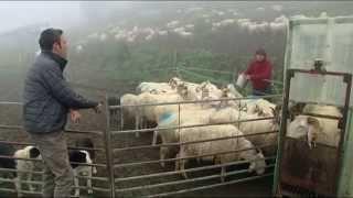 Cap Sud-Ouest - Pastoralisme dans les Pyrénées