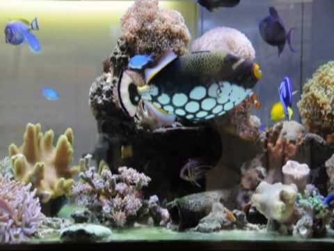 Mini Reef Tank With Large Clown Trigger Fish, Nikon D90 Movie Video 2