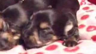 可愛いヨーキーの子犬が生まれました。 詳細はこちらから http://www.do...
