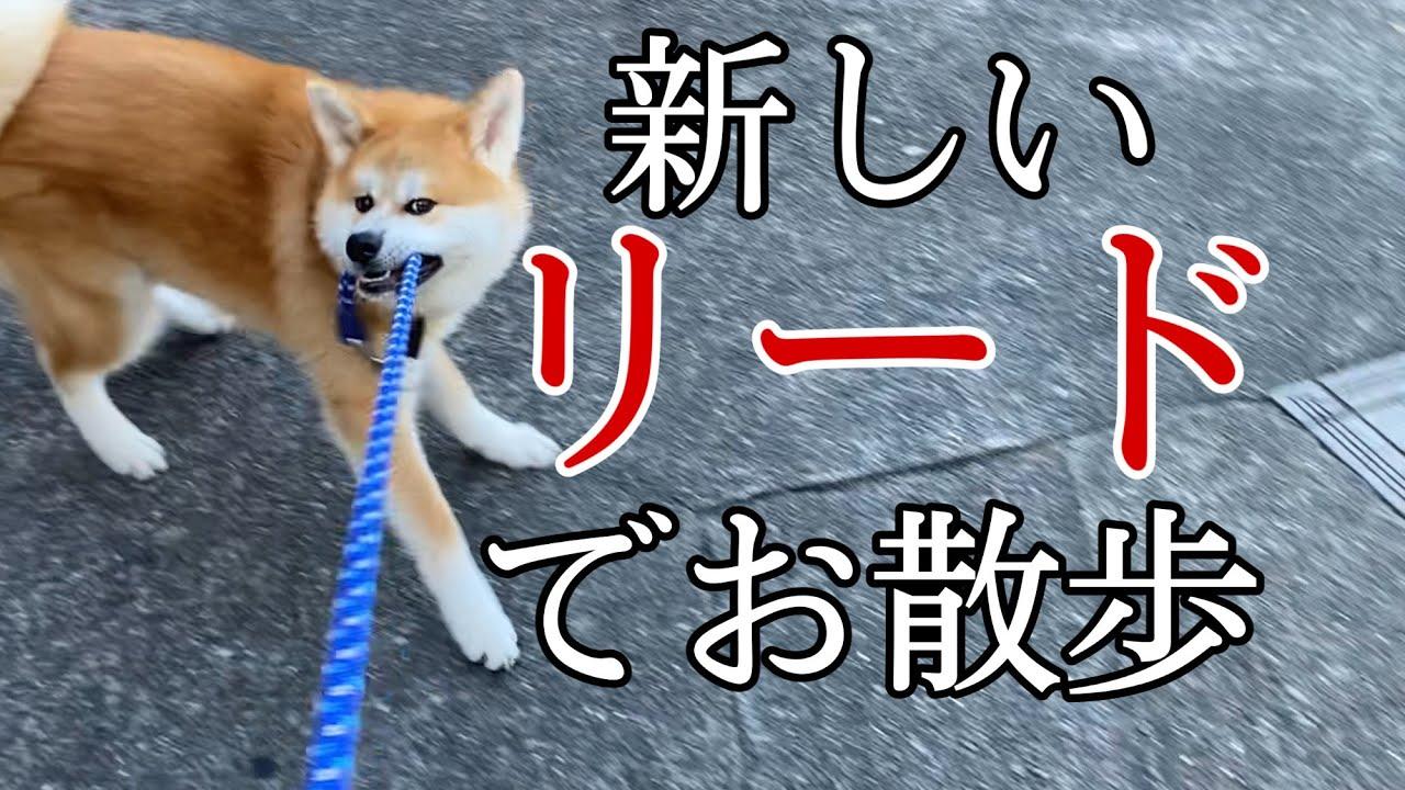 """新しいリードでウキウキしながら散歩に行く秋田犬""""てん"""""""