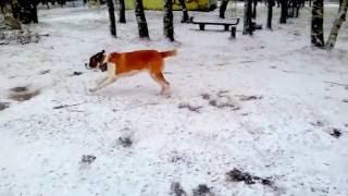 Сенбернар радуется снегу!