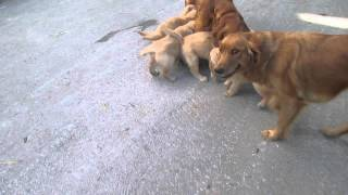 Golden Retriever Puppies For Sale In Pennsylvania