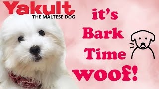 Our Maltese Puppy Barking Nonstop! Watch To Find Out The Reason   Yakult The Maltese Dog
