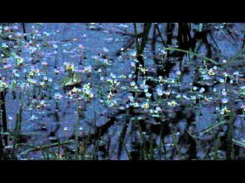 European tree frog (Hyla arborea) concert Bialowieza