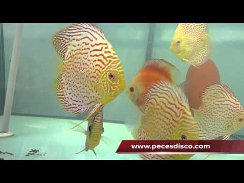 Peces Disco Oriental Dream 8-10 cm, Spoteed Head, Albino Ls & Albino LSS 12-14 cm