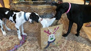 Excited Great Danes Have Fun Opening Gift Bag