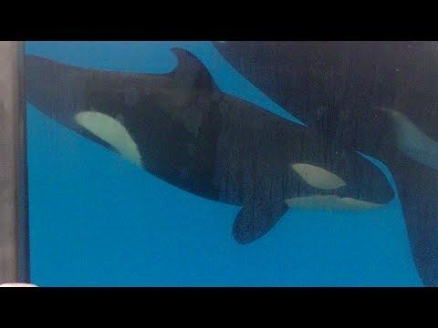 RIP Baby Kyara!!! One Ocean - Jul 12, 2017 - SeaWorld San Antonio