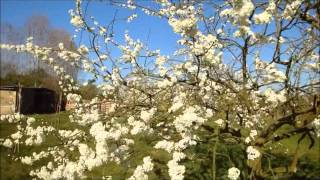 Damson and peach blossom in March sunshine