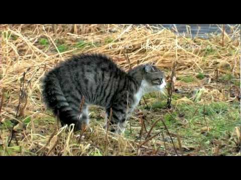 южно камчатский кот и лиса знакомство