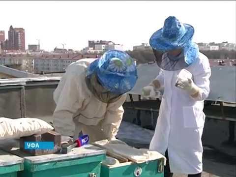 Башкирские ученые создали препарат, повышающий продолжительность жизни пчел и их производительность